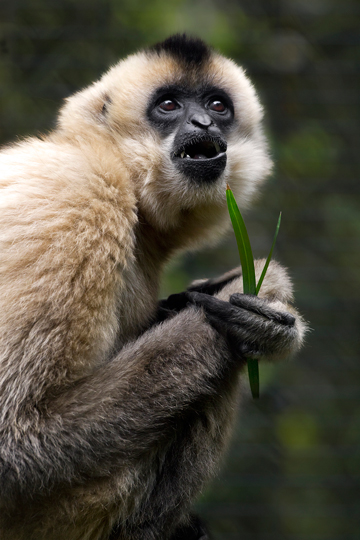 Female red-cheeked gibbon holding leaves