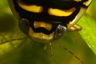 Close up of a sunburst diving beetle's eyes