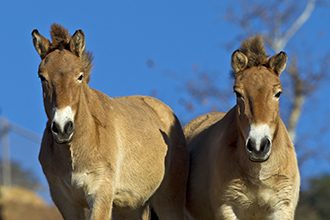 Two Przewalski's horses stand alert, facing viewer