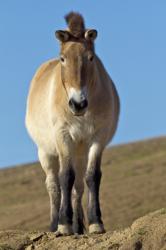 Przewalski's horse stands with ears alert