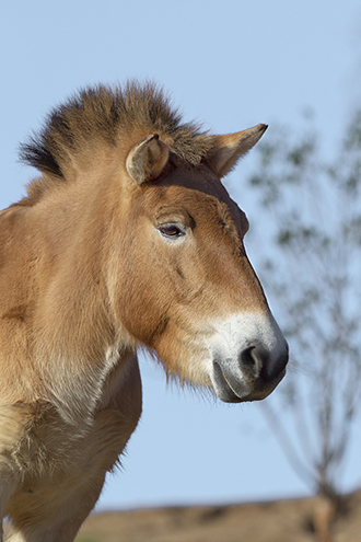 Head of Prezewalski's horse