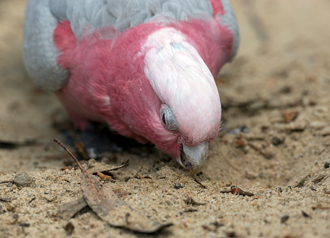 Galah foraging on ground