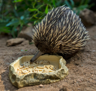 Short-beaked echidna inspects a dish of mealworms at the San Diego Zoo