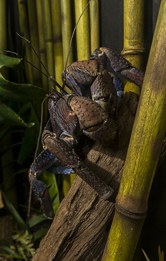Coconut crab climbs tree branch at San Diego Zoo