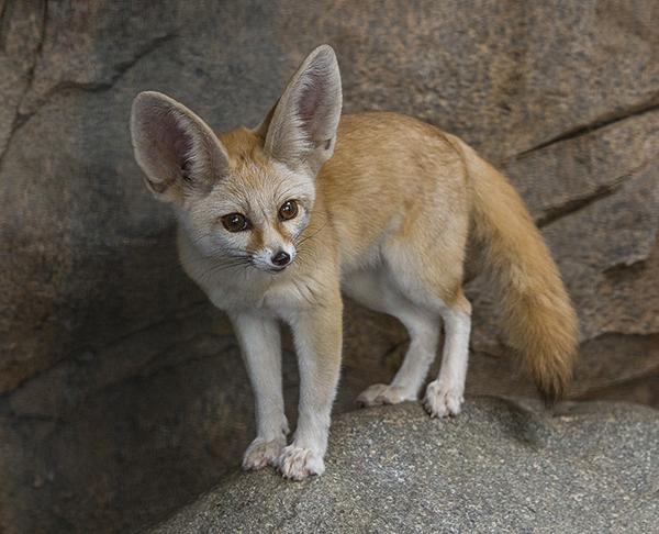 Fennec fox at the San Diego Zoo
