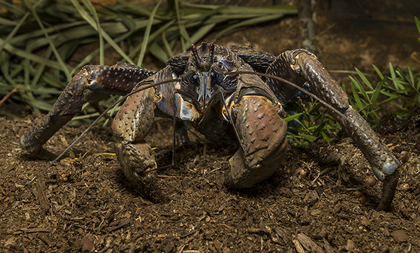Front view of a coconut crab at the San Diego Zoo