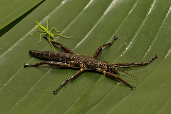 Lord Howe Island stick insect nymph and adult