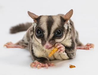 Sugar glider feeding on mealworm