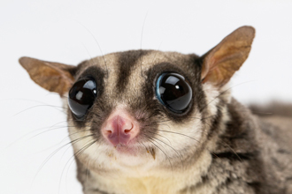 Large eyes of sugar glider