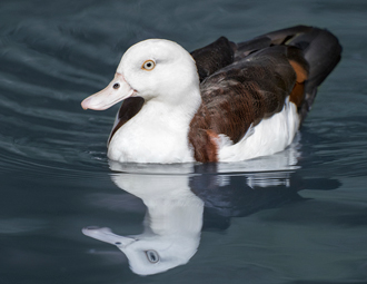 Radjah Shelduck swimming; reflection in blue water