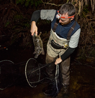 Researcher collects platypus with fyke net, night
