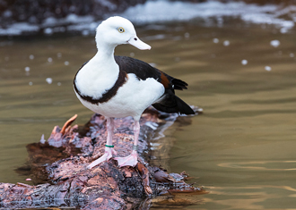 Radjah Shelduck standing on log in water