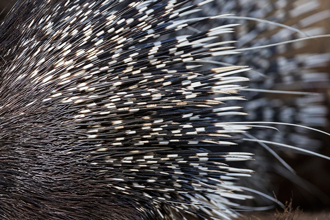 Spines and quills of a cape porcupine