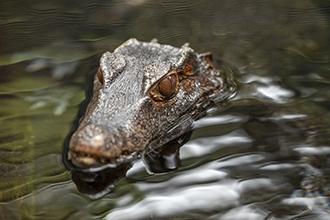 dwarf caiman at san diego zoo