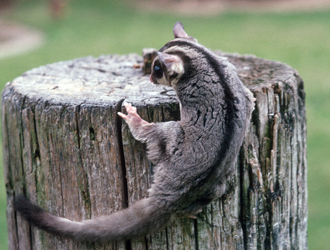 Sugar glider on fence post