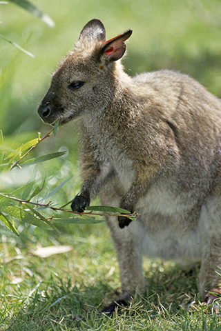 Red-cheeked wallaby