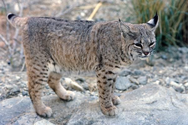 Bobcat standing on flat rock