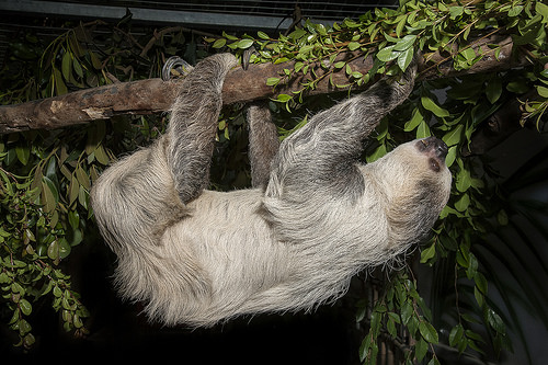 Sloth climbing at night