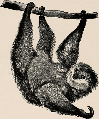 Sloth, early illustration from Zoology book