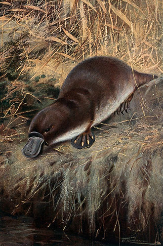 Painting of platypus by W. Kuhnert, cWellcome Coll