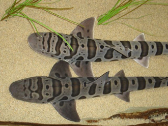 Coloration spots and saddles of a leopard shark