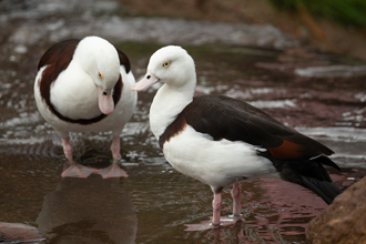 Two Radjah Shelducks standing in shallow water