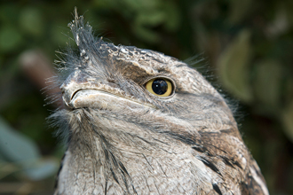 Head of a Tawny Frogmouth