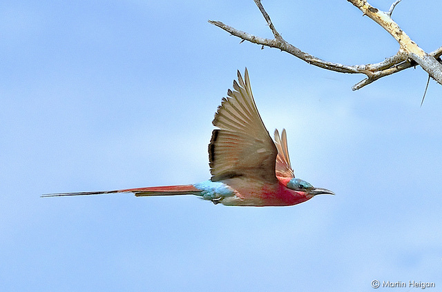 Southern carmine bee-eater in flight
