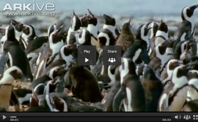 video of penguins