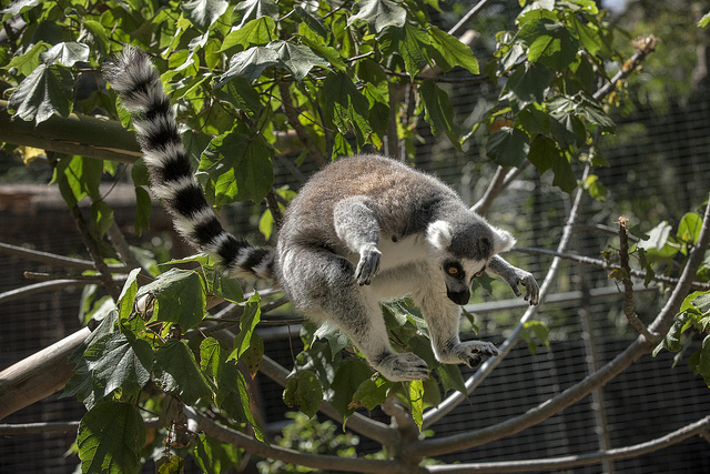 ring-tailed lemur leaping