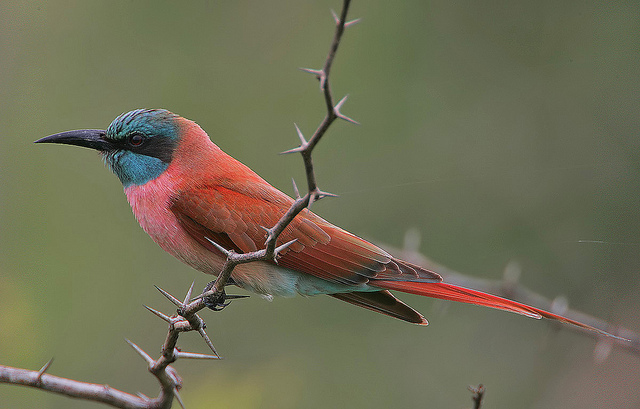 northern carmine bee-eater perched