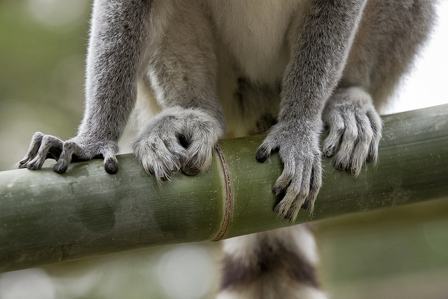 Ring-tailed Lemur fingers and toes
