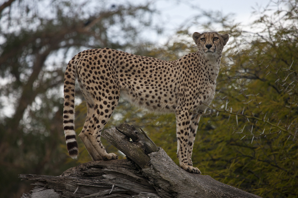 a cheetah on a log