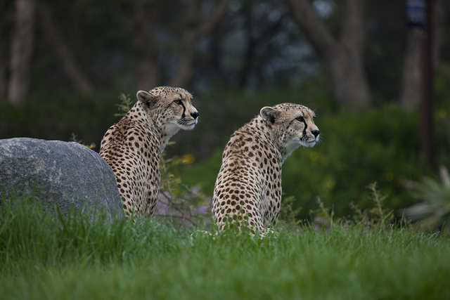 Two cheetah sisters