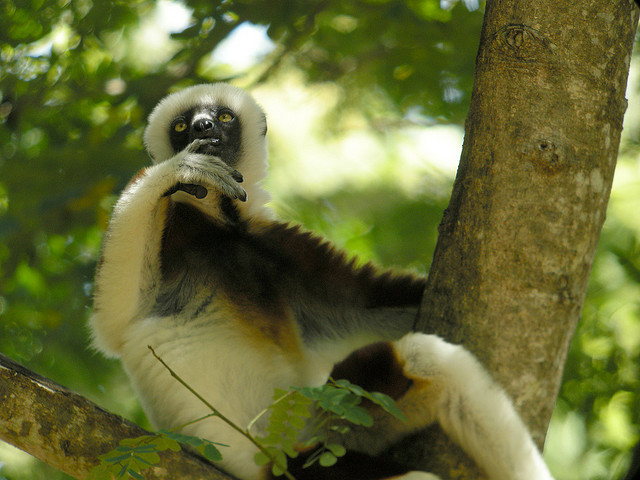 a sifaka in a tree looking thoughtful