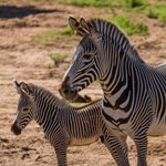 Grevy's zebra foal and dam, San Diego Zoo Safari Park