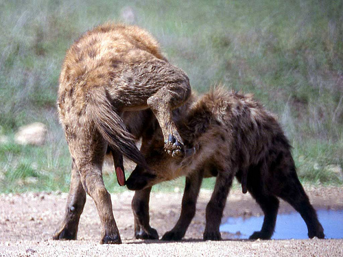 Spotted hyena greeting