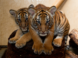 Two Malayan tiger cubs
