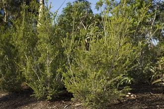 A food plant of LHISI, Melaleuca howeana