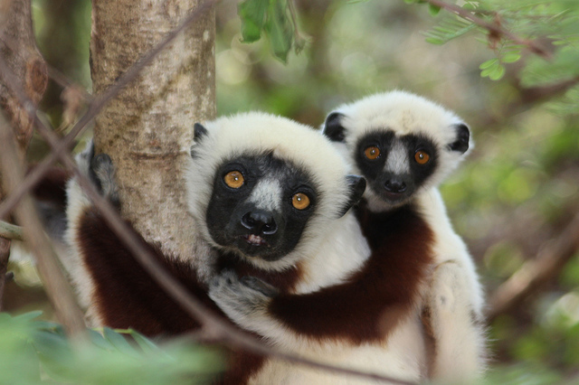 a sifaka and baby