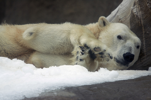 Polar bear black paws and nose