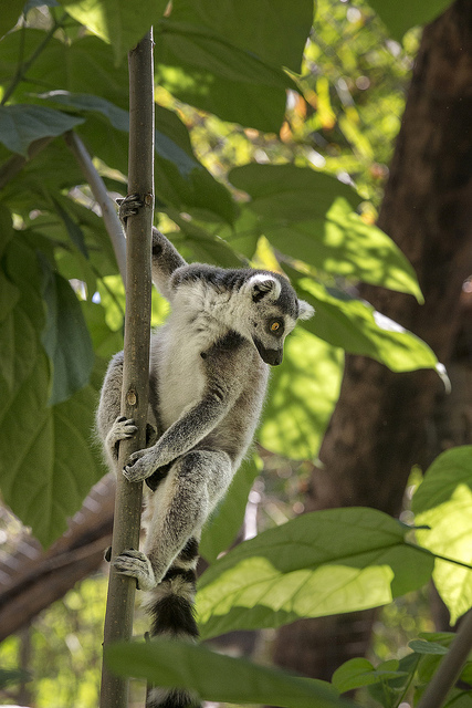 Ring-tailed lemur in a tree