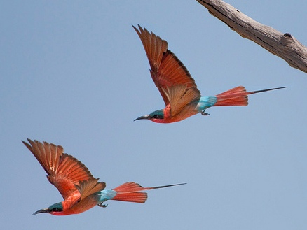 southern carmine bee-eaters in flight
