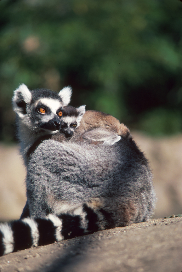 Ring-tailed Lemur and young