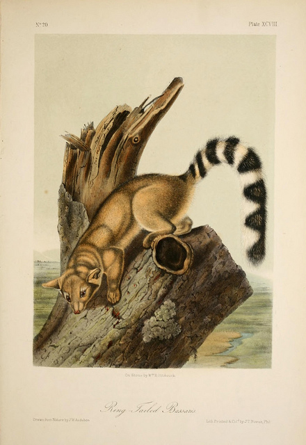 painting of a ringtail