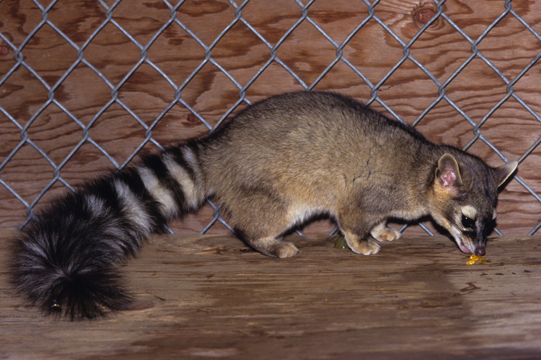 Ringtail eating