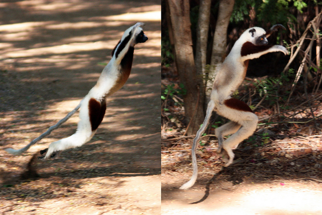 a sifaka leaping along the ground