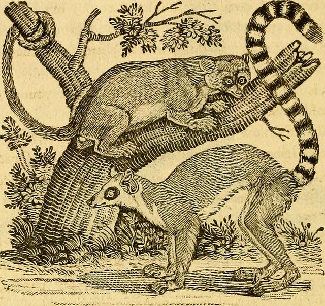 Lemur engraving from A General History of Quadrupeds (1800)