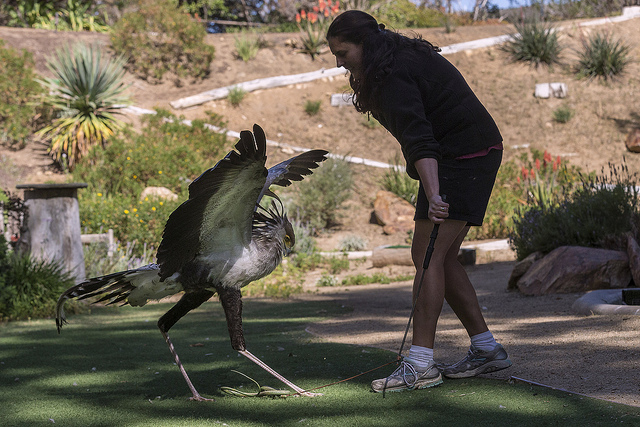 Secretary Bird training, SD Zoo Wild Animal Park