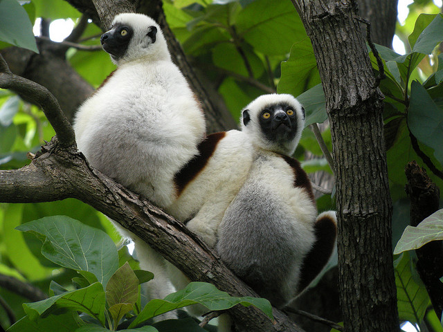 two sifakas in a tree